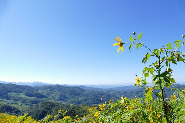 Blooming mexican sunflower on the hill