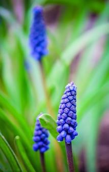 Blooming muscari flowers. selective focus. nature fliwers.
