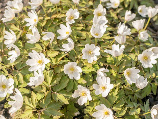 咲くネモロサまたはシンブルウィードの花
