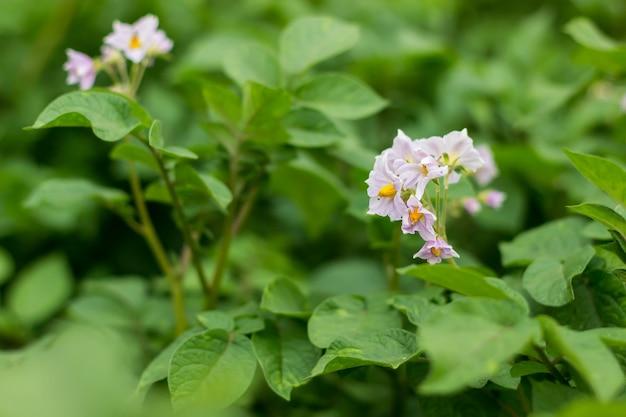 채소밭에서 어린 녹색 감자의 개화 야채와 뿌리 작물 재배
