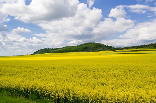 Зацветая поле рапса семени масла с голубым облачным небом. природный ландшафт