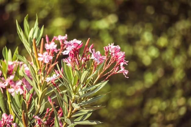 咲くキョウチクトウ