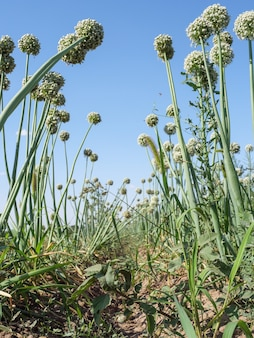 Blooming onions grown in the field.
