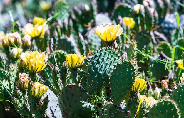 Цветущий кактус опунция