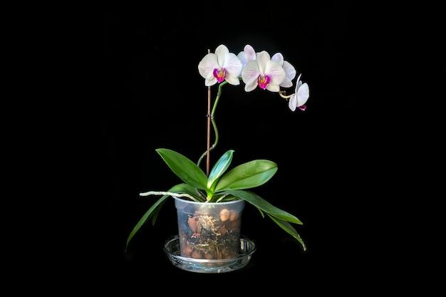 Цветущая орхидея в горшке, изолированная на черном. домашние цветы, хобби, образ жизни.