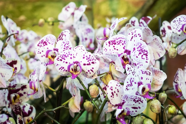 Blooming orchids in the greenhouse. colored orchid flowers grow in a tropical winter garden.