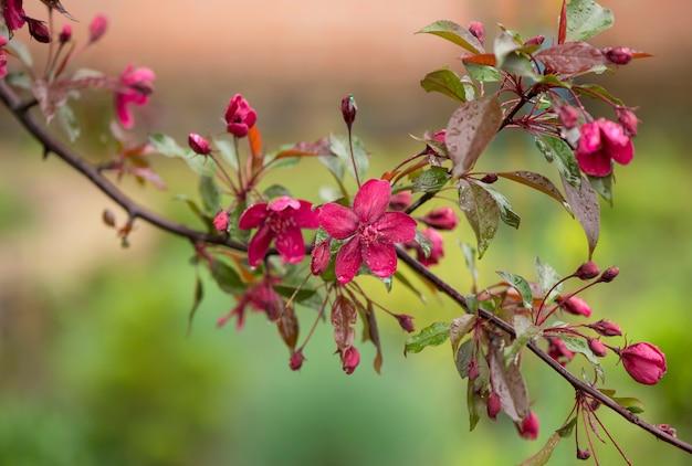 咲く楽園のリンゴの木のつぼみ。枝にピンクの花が咲く素晴らしい自然の背景。