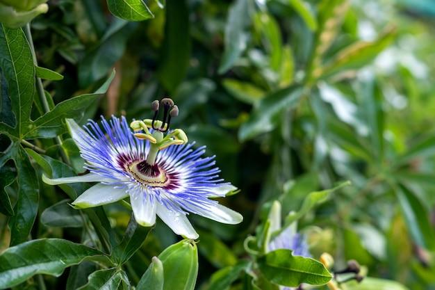 Цветущая пассифлора или пассифлора
