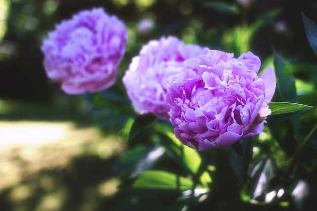 庭に咲く牡丹。緑の葉の美しいピンクの花。