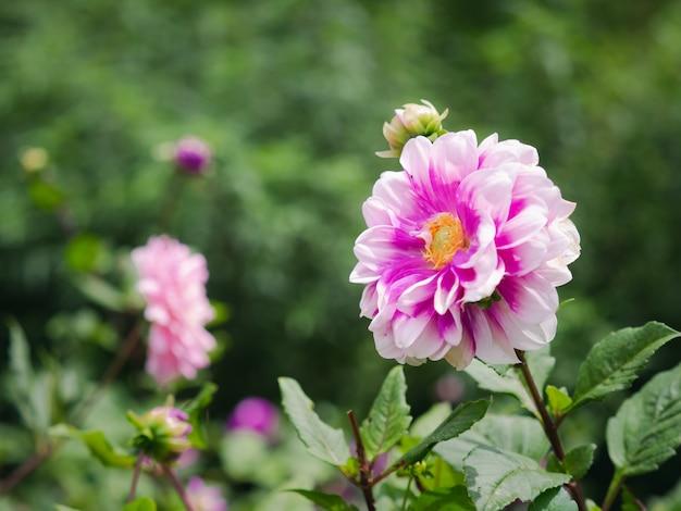 신선한 녹색 정원에 노란색 꽃가루가 있는 분홍색과 흰색 달리아 꽃