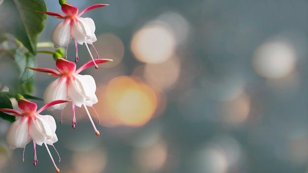 ピンクと白のフクシアの花が咲く