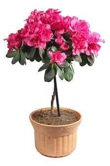 白い背景で隔離の鍋に咲くピンクのツツジ