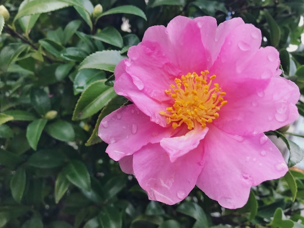 Blooming pink camellia flower after raining in the park.