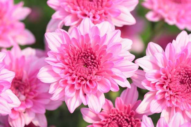 Blooming pink chrysanthemum flower closeup for love
