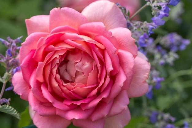 화창한 날 정원에 핑크색 영국 장미가 피었습니다. 데이비드 오스틴 쥬빌리 셀러브레이션 로즈. 여름 장미 배너, 배경