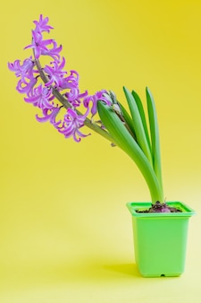 녹색 플라스틱 냄비에 피 핑크 히 아 신 스 꽃