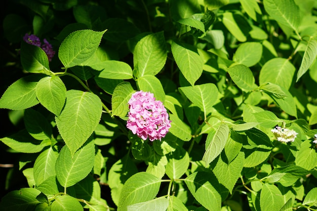 Blooming pink hydrangea in the garden, close up