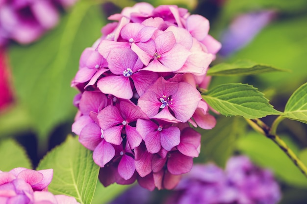 Blooming pink hydrangea or hortensia in flower bed. spring or summer garden. close up, selective focus, sunny day