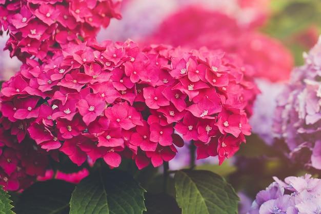咲くピンクのアジサイまたはオルテンシア、コピースペース