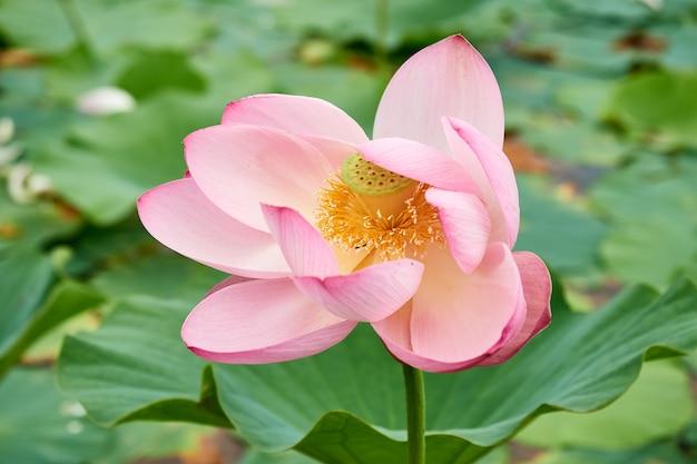 Цветущий розовый цветок лотоса на озере, красивый, редкий цветок