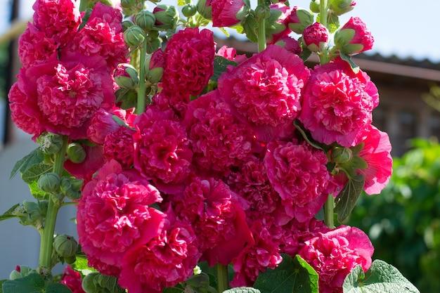 피는 핑크 맬로. 장미 꽃입니다. 플로리스트리.