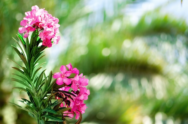 Blooming pink oleander flowers or nerium in garden. selective focus. copy space. blossom spring, exotic summer, sunny woman day concept.