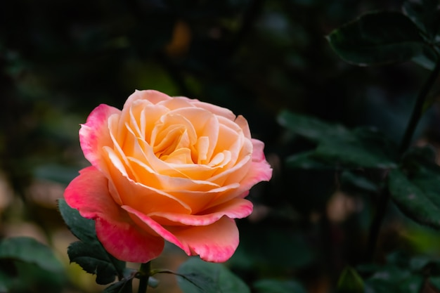 Blooming pink and orange rose in the garden