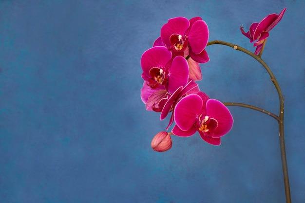 Цветущая розовая орхидея. цветоводство, хобби, домашние цветы.