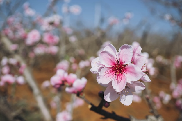Blooming pink peach blossom with blur background