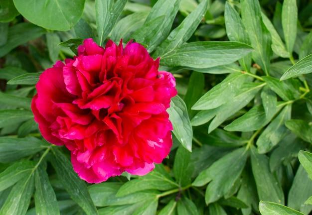 Цветущие розовые пионы на фоне размытых зеленых листьев в саду. естественный.