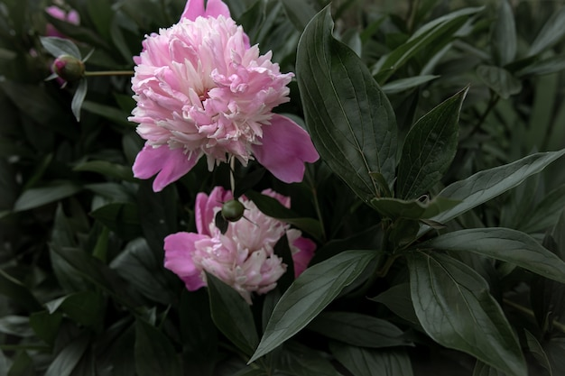 Blooming pink peony bush among the leaves copy space.