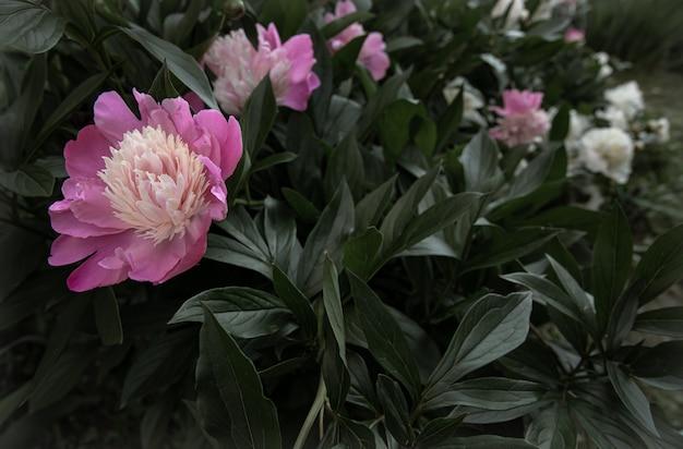Cespuglio di peonia rosa in fiore tra le foglie copia spazio