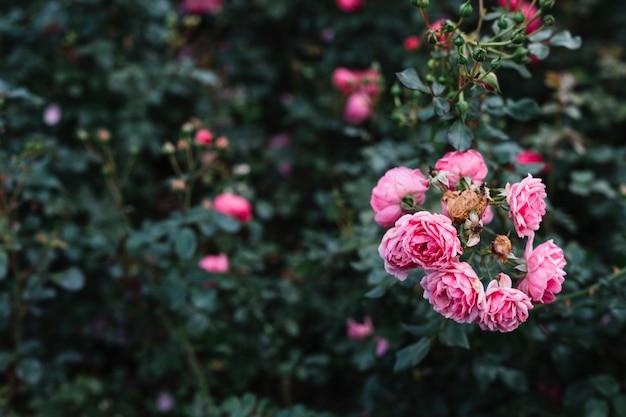 Blooming pink peony flowers in garden