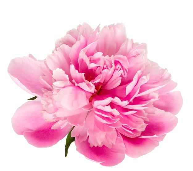 Цветущий розовый пион на белом фоне.