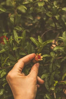 Blooming pink pomegranate flower in hand in green leaves