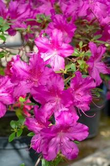 咲くピンクのシャクナゲ(ツツジ)、クローズアップ、セレクティブフォーカス、コピースペース。