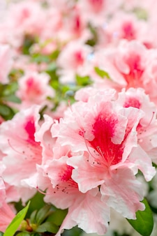 Blooming pink rhododendron (azalea), close-up, selective focus, copy space.