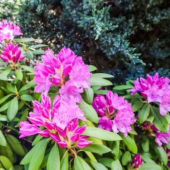 春のガーデニングの概念で咲くピンクのシャクナゲの花