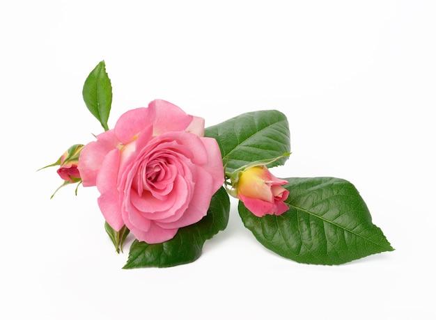 Цветущий бутон розовой розы с зелеными листьями на белом фоне, красивый цветок, крупным планом