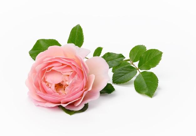 Цветущий бутон розовой розы с зелеными листьями на белой поверхности, красивый цветок, крупным планом