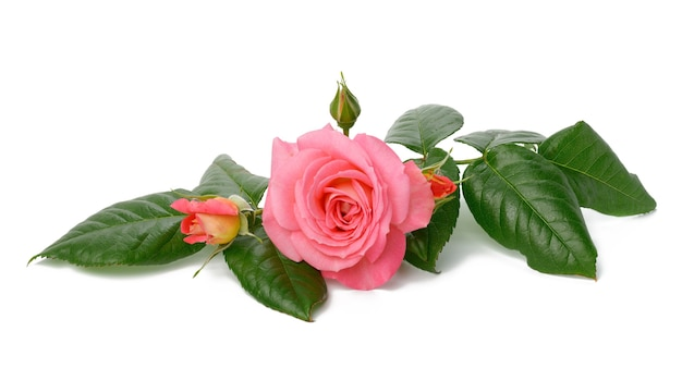 Blooming pink rose bud with green leaves on a white background, beautiful flower, close up