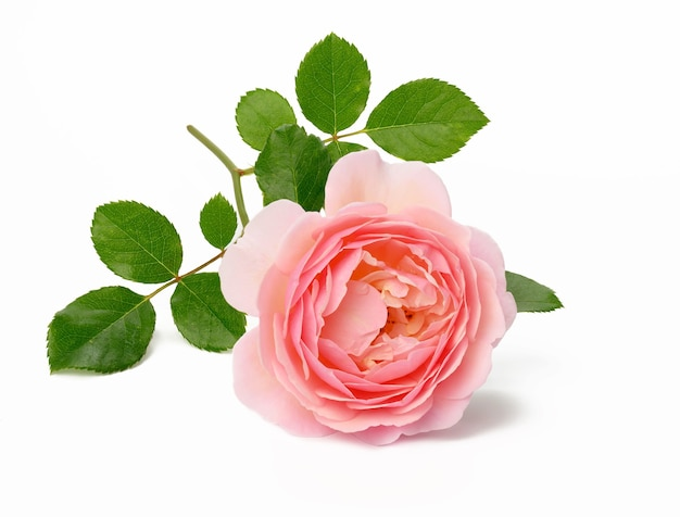 Blooming pink rose bud with green leaves on a white background