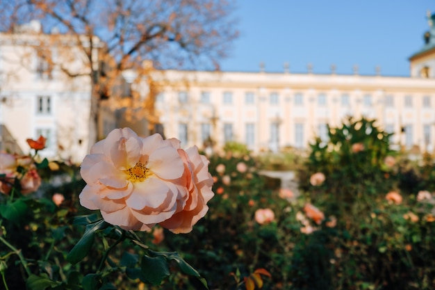 Цветущая розовая роза в саду