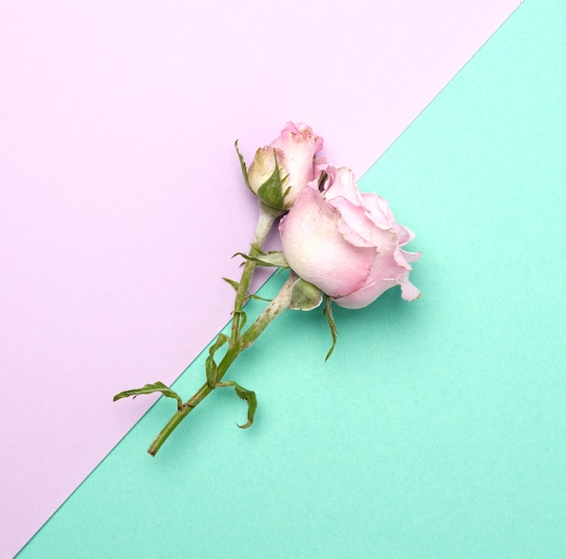 Blooming pink rose with green leaves on a purple background