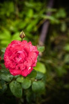 정원에서 잎과 물 방울과 피 핑크 로즈