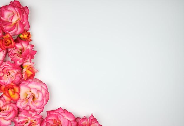 Цветущие розовые розы заштрихованы уголком