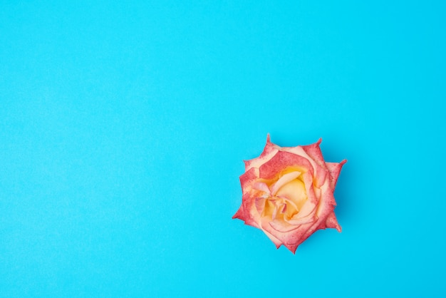 Blooming pink yellow rose on a color background, festive backdrop, top view