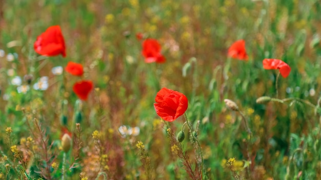 Blooming poppy. beautiful field with blooming poppies as symbol of memory war anzac day in summer
