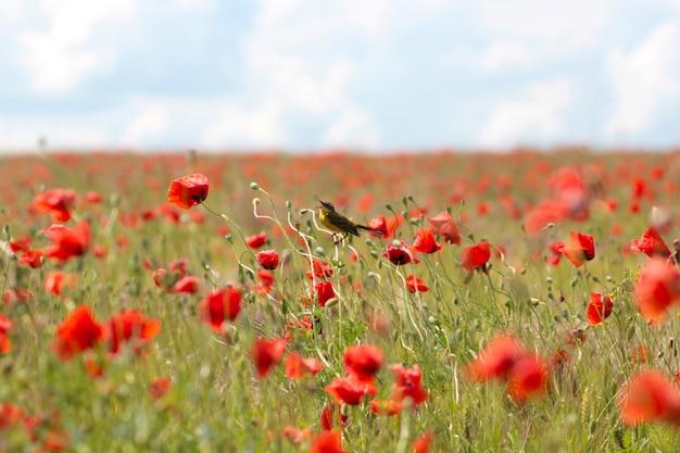Цветущее маковое поле. красный цветок мака заделывают.