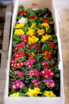 Blooming primroses in an assortment in flower pots for sale. floriculture, gardening.